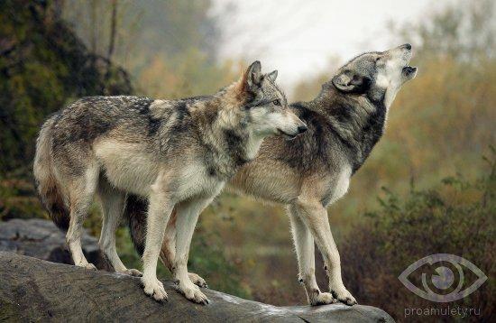 volki-na-skale