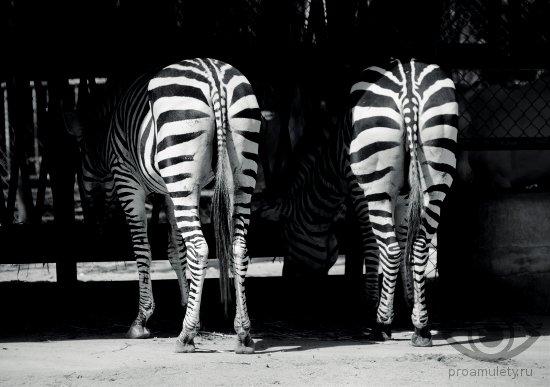 oberegi-ot-sglaza-porchi-svoimi-rukami-zebra-chjornye-polosy