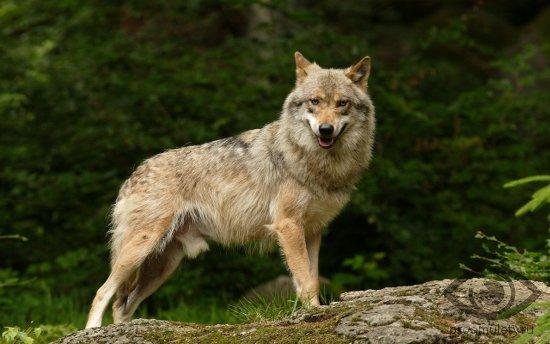 odinokij-volk