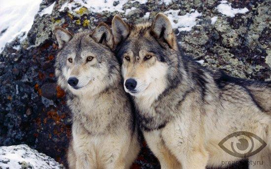 volchja-para-dva-volka
