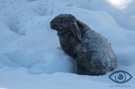 seryj-krolik-na-snegu