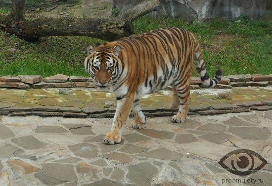 Сексуальная совместимость коза и тигр
