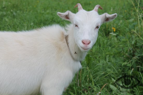 molodaja-kozochka-koza-trava