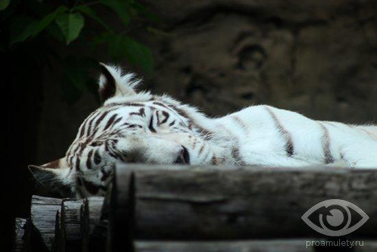 belyj-bengalskij-tigr