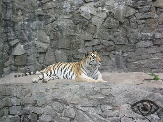 tigr-v-zooparke