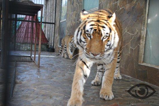 tigry-v-volere