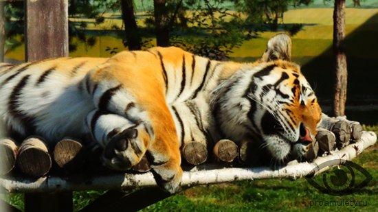 Женщина тигр в сексе