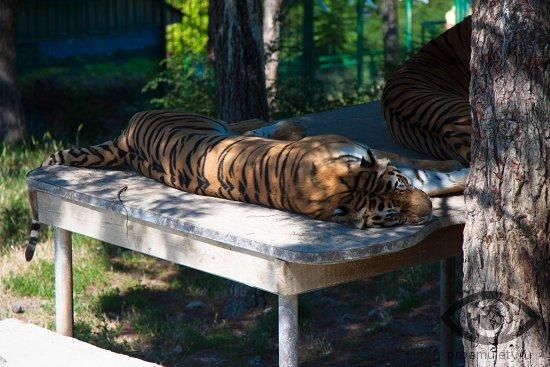 spjashhij-tigr-voler-zoopark