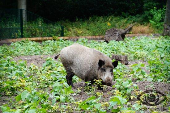 samka-kabana-svinja