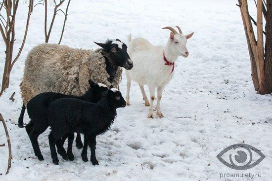 koza-ovca-jagnjata-zima-sneg