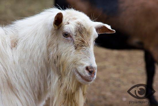 Порнография с ослами овцами видео