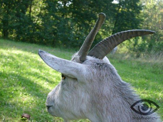 koza-na-lugu-roga