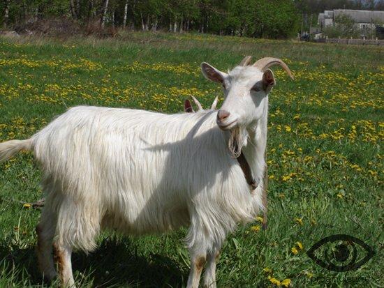 koza-na-lugu-trava-cvety