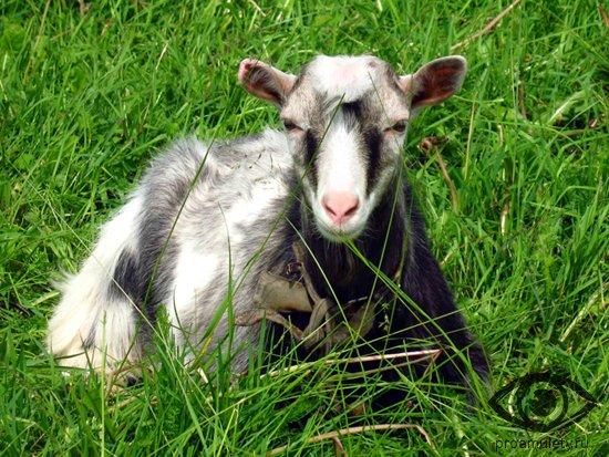 koza-lezhit-v-trave