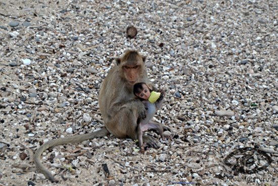 обезьяна мужчина и бык женщина