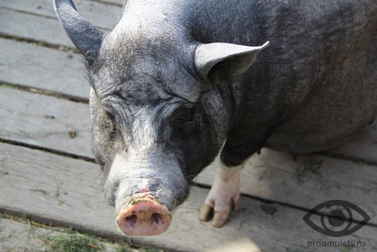 vetnamskaja-svinja