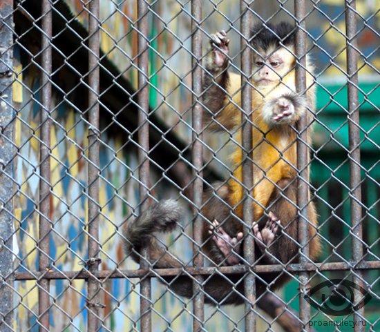 obezjana-kapucin-na-reshjotke-zoopark