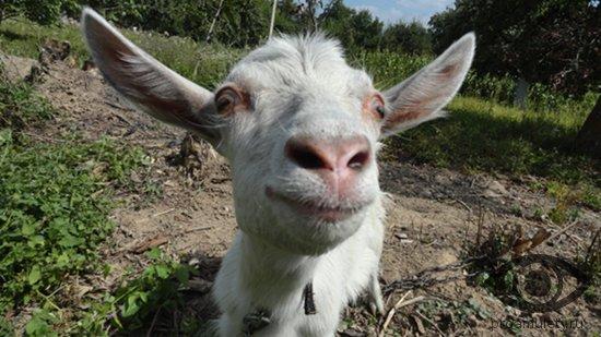 morda-beloj-kozy