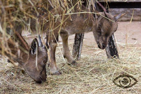 nubijskie-kozy-soloma