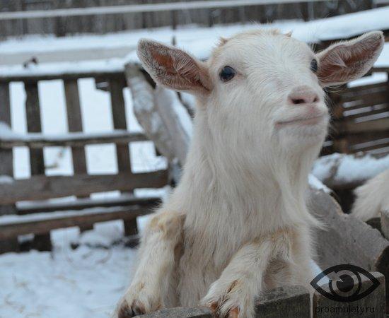 kozljonok-v-zagone-koza
