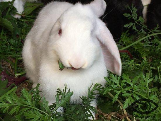 belyj-krolik-zhujot-travu