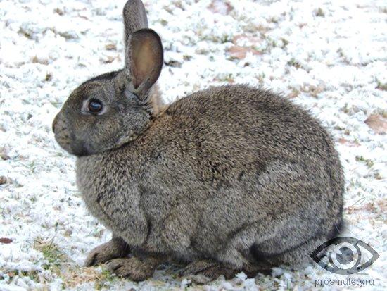 Сексуальное совместимость кролик кабан