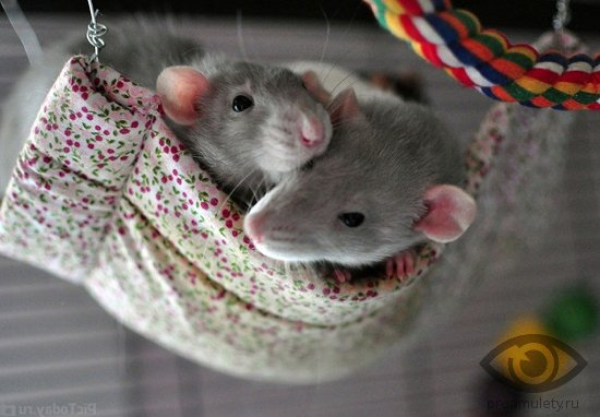 dve-krysy-v-gamake-kletka