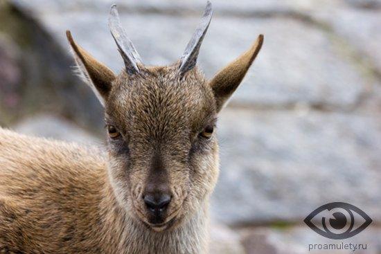 kamerunskaja-koza-kozochka