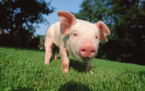 porosjonok-svinja-na-luzhajke
