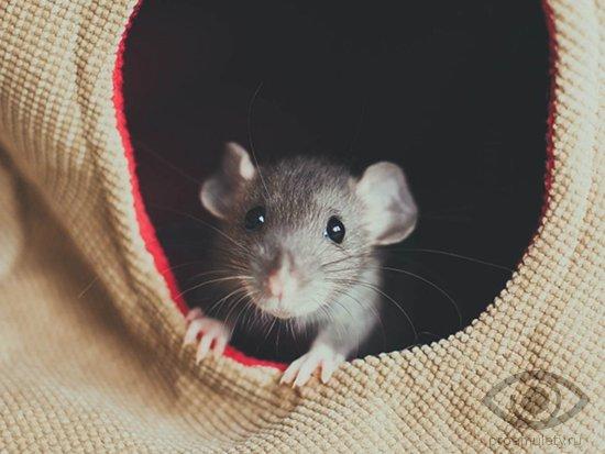 Женщина крыса секс