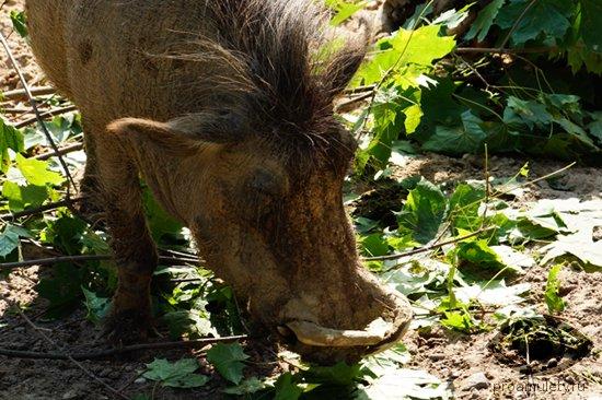 kaban-borodavochnik-svinja-les