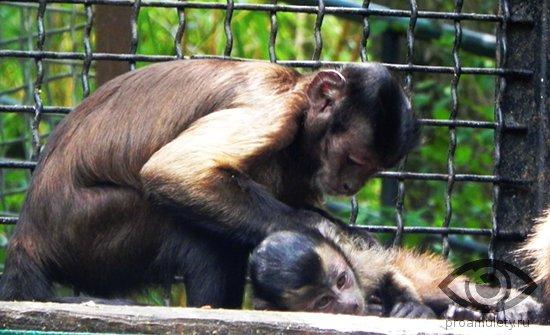 obezjanki-delajut-massazh-zoopark