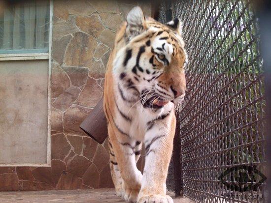 tigr-v-zagone