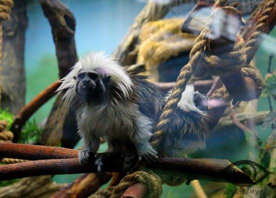 hohlatyj-tamarin-zoopark