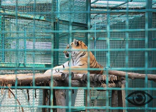 tigrica-v-zooparke