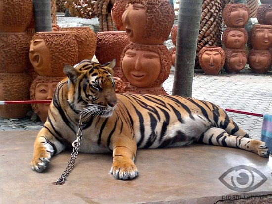 tigr-na-cepi