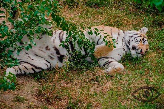 tigr-valjaetsja-na-trave