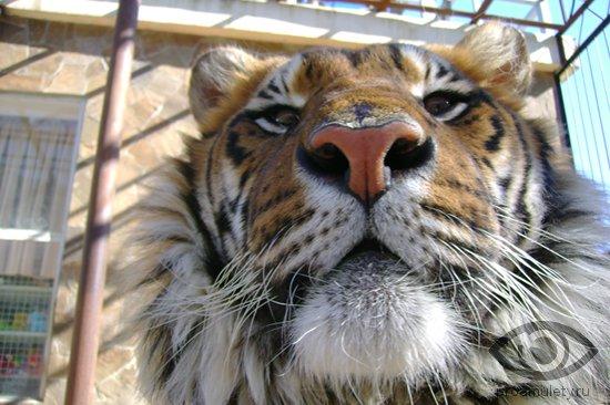 tigr-morda