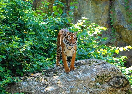 tigr-na-skale