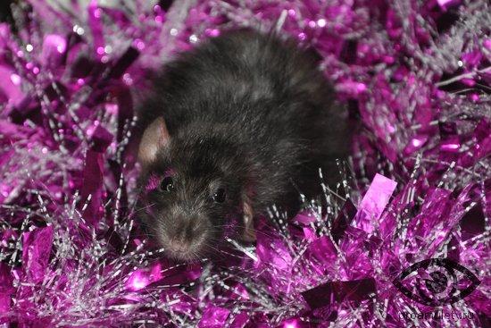seraja-krysa-v-novogodnej-mishure