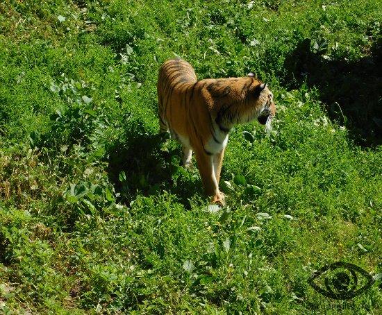 tigr-trava-lug