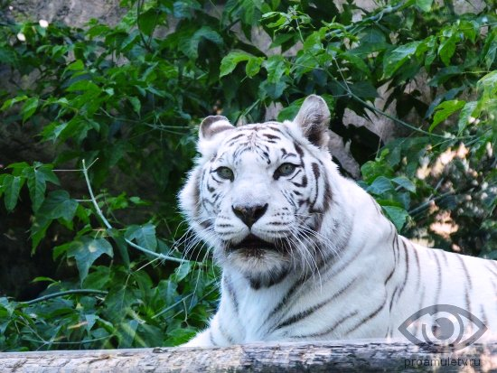 bengalskij-tigr