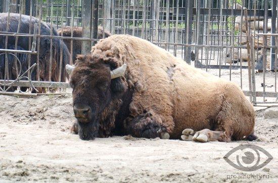 bizon-v-zooparke