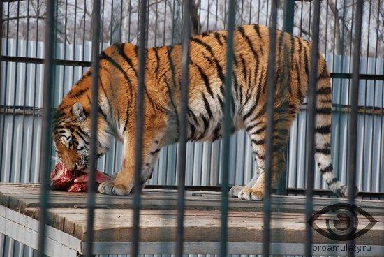 tigr-est-mjaso-v-zooparke