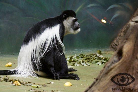 vostochnyj-kolobus-obezjana-martyshka-chernaja-belyj-meh-primat-makaka-gvereca