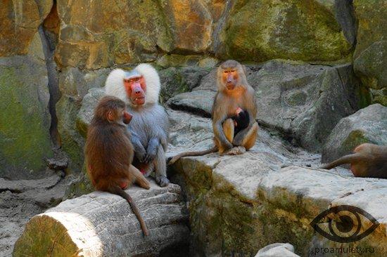 obezjany-na-kamnjah-v-zooparke