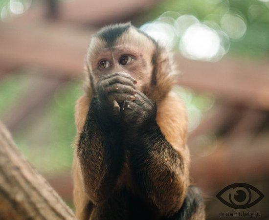 obezjana-makaka-buryj-kapucin-jjuzhnaja-amerika-les