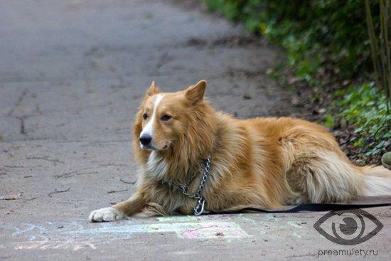ryzhaja-sobaka-lezhit-na-asfalte