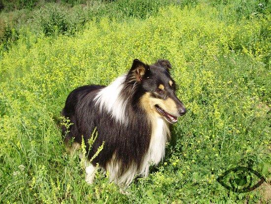 sobaka-porody-kolli-trava-poljana-lug
