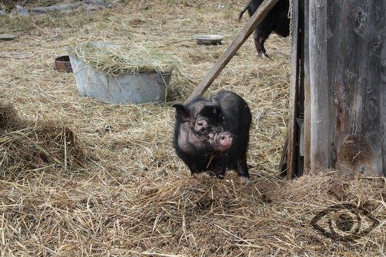 porosjonok-vislobrjuhoj-vetnamskoj-svini